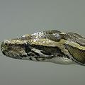 ビルマニシキヘビの捕獲へ向けて、フロリダ州が50人の「ハンター」を募集している/FILE/Dan Kitwood/Getty Images Europe/Getty Images