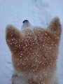 砂糖のかかった揚げパン?雪の日の秋田犬の頭が注目を集める