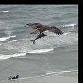 大きな魚を鋭い爪で掴んで飛ぶ鳥(画像は『Ed Piotrowski WPDE 2020年6月27日付Facebook「Ashley White from Erwin, TN took this video from her hotel balcony in Myrtle Beach of an osprey with a large spanish mackerel in its talons!」』のスクリーンショット)