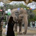 パキスタン・イスラマバードにある動物園で開かれたカーバンのお別れ会(2020年11月23日撮影)。(c)Farooq NAEEM / AFP