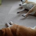 ストーブの前でゴロン ぬくぬく暖を取る柴犬たちの様子に反響