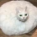 真っ白な毛に包まれた円盤型の猫ちゃんが飼い主さんに呼ばれてやってくる動画が「怖い」とTwitter上で話題に(提供写真)