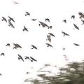 空を覆うムクドリの大群に住民悲鳴、騒音や大量のふんなどの被害