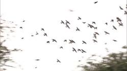 ムクドリ襲来の季節ことしも 空覆う黒い大群...住民悲鳴
