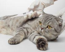 「猫コロナウイルス」って? 命を落とす危険性も…