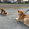 散歩中にペタッと座る柴犬の行列 遠くから来る別の柴犬に気づいて…
