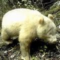 中国で白い野生パンダを初撮影 山中に設置されたカメラが捉える
