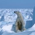 米アラスカ州プルドーベイの北東沖で、海氷の上に立つホッキョクグマの親子。米非営利団体「ポーラー・ベアズ・インターナショナル」提供(1985年撮影、2020年7月17日提供、資料写真)。(c)AFP PHOTO / Polar Bears International / Steven C. AMSTRUP