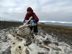 北極圏のノルウェー領スバルバル諸島で発見されたトナカイの死骸を調べるアシルド・オンビク・ペデルセン氏。ノルウェー北極研究所提供(撮影日不明)。(c)AFP=時事/AFPBB News