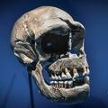 ネアンデルタール人がテーマの企画展で展示された頭蓋骨(2018年3月26日撮影、資料写真)。(c)STEPHANE DE SAKUTIN / AFP