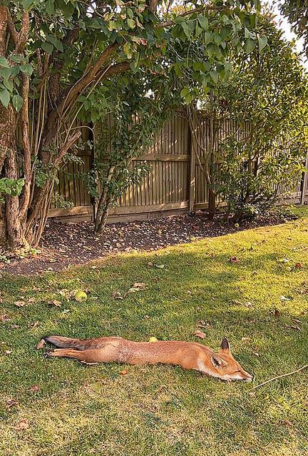 イギリス人「暑さのせいかキツネが庭で見たこともない姿をさらしていた…」