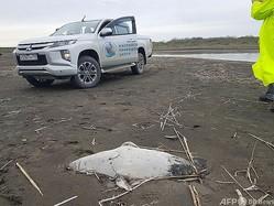ロシア南部ダゲスタン共和国の首都マハチカラ郊外のカスピ海沿岸に漂着したアザラシの死骸。Marine Mammal Research and Expedition Center提供(2021年5月5日撮影、同日提供)。(c)AFP PHOTO /Marine Mammal Research and Expedition Center
