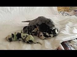 1匹だけ緑色だったグレート・デーンの赤ちゃん(画像は『ABC7 2019年10月17日公開 YouTube「Colorado dog owner helps Great Dane birth rare green puppy   ABC7」』のサムネイル)