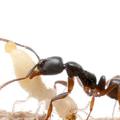 シロアリを捕食するオオハリアリ(京都大学などの発表資料より)