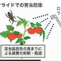 タバコの天然成分、トマトの抵抗性を高め複数害虫防ぐ 農研機構発表