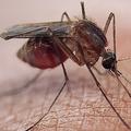 従来の治療薬が効かない種類のマラリア原虫 東南アジアで急増