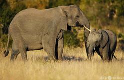 南アフリカのクルーガー国立公園で、赤ちゃんゾウを鼻で押す母親のゾウ(2010年6月22日撮影、資料写真)。(c)CHRISTOPHE SIMON / AFP