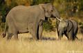 サイの密猟容疑者、ゾウに踏まれ死亡 南...