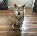 不機嫌そうな柴犬(画像は『Grumpy Sheeb 2019年5月1日付Instagram「#shiba #shibainu #shibadaily #shibamania #shibagram #shibastagram #shibasofinstagram #dogsofinstagram」』のスクリーンショット)
