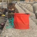魚入りのバケツに蓋されキレる猫