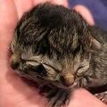 米国で顔が2つある子猫が誕生 片方で食べながらもう一方で鳴くことも