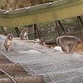 台風の影響で柵が倒壊 千葉の動物園でサル100匹が2カ月間放し飼い状態