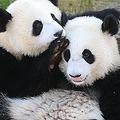 中国メディアは、安倍晋三首相が10月に訪中した際、新たなジャイアントパンダの貸与に向けて基本合意がなされたことを伝え、「日本人はこれまでもパンダに対して熱烈な歓迎を表してきた」と指摘した。(イメージ写真提供:123RF)