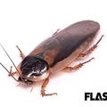 食糧難の解決で光が当たる「昆虫食」 ゴキブリは川エビの味がする?