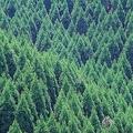 戦争で大量の木材が消えた…日本全国が「スギ」だらけになった理由