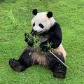ほぼ本物? 生きているように見えるパンダ着ぐるみ、レンタル開始