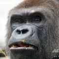 スペイン・マドリード動物園で飼育されているゴリラ(2013年12月5日撮影、資料写真)。(c)JAVIER SORIANO / AFP