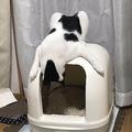自分がトイレをしたあとを覗き見してしまう猫に笑い 「すんごい体勢」