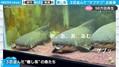 横一列に並んだ古代魚たち 不思議な食事シーンに「なぜかクセになる」