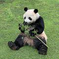 本物そっくりな「究極のパンダ着ぐるみ」がレンタル開始 100万円から