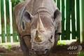 世界最高齢とみられていたクロサイ「ファウスタ」。タンザニア北部ンゴロンゴロ自然保護区で。同保護区提供(2019年11月4日提供)。(c)AFP PHOTO / NGORONGORO CONSERVATION AREA AUTHORITY