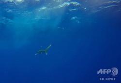 ヨゴレザメ。エジブト沖で(2018年10月9日撮影、資料写真)。(c)Andrea BERNARDI / AFP