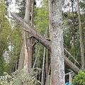 千葉で発生した大規模な停電の遠因に?難易度が高い倒木の処理