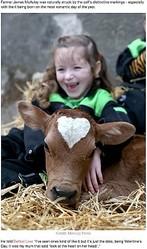 頭部にハートマークを持つ子牛(画像は『LADbible 2020年2月15日付「Calf Born On Valentine's Day With Perfect Heart-Shaped Mark On Its Head」(Credit: Mercury Press)』のスクリーンショット)