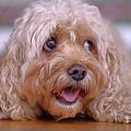 心を動かす「子犬のような目」は進化でできた オオカミと犬の違い