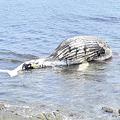 クジラ? 10mの死骸が海岸に漂着