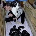 飼い主の女性と一緒の犬たち(画像は『Daily Record 2019年12月4日付「Dog gives birth to staggering litter of 21 puppies in 'world record'」(Image: IOM Newspapers / SWNS)』のスクリーンショット)