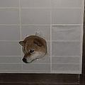 障子から顔を出して飼い主を出迎える柴犬に「柴が生えてますね」