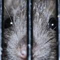 アメリカでネズミが凶暴化 新型コロナの影響によるゴミ減少が原因か