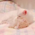 地震が起きた途端、寝室で寝てる弟猫を抱きしめる 猫の兄弟愛が愛おしい