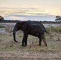 ジンバブエのワンゲ国立公園を歩くアフリカゾウ(2012年11月19日撮影、資料写真)。(c)MARTIN BUREAU / AFP