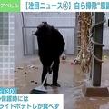 エストニアの動物園に意識が高いチンパンジー 自ら床を掃除